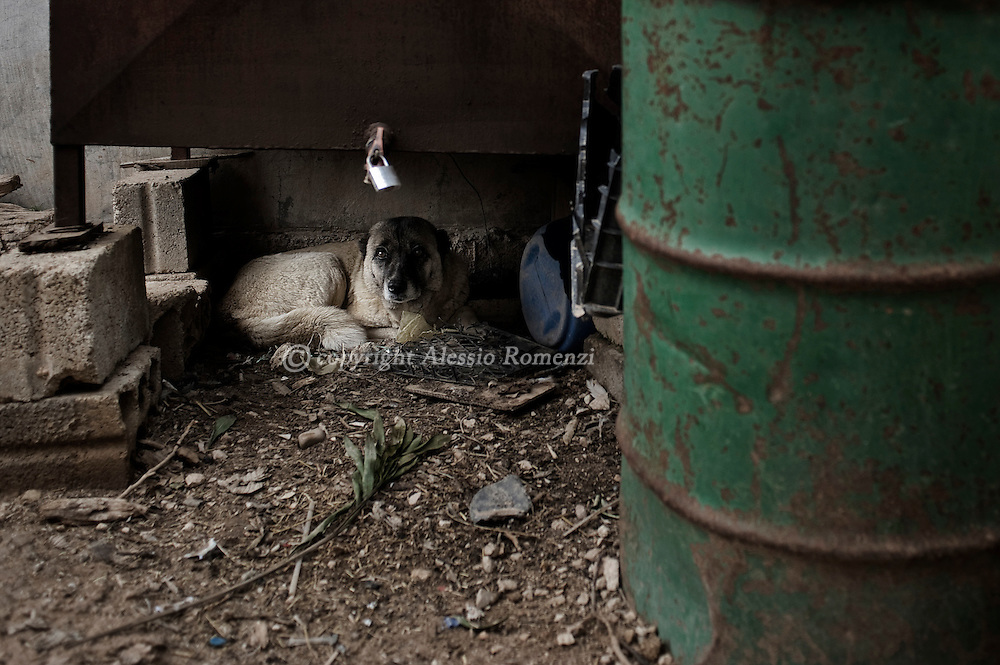 SYRIA - Al Qsair. A scared dog sheltering from Al Asad Forces gun fire and shelling in the city of Al Qsair, on February 23, 2012. ALESSIO ROMENZI