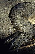 Vereinigte Staaten von Amerika, USA, Florida: amerikanischer Mississippi-Alligator (Alligator mississippiensis). Hinteres linkes Bein. | United States of America, USA, Florida: American Alligator, Alligator mississippiensis, left hind leg, legs are strong digging tools. |