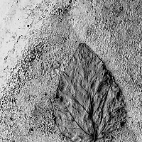 Leaf on concrete , monochromatic abstract .