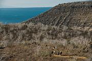 Palo Santo trees (Bursera graveolens)<br /> Wolf Volcano <br /> Isabela Island<br /> Galapagos <br /> Ecuador, South America