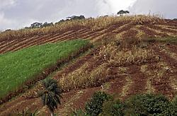 Pernambuco; Brasil; 03/1997..Plantacao de cana em terreno em declive. Colheita manual./ Plantation of Sugar Cane. Manual harvest..Foto de Marcos Issa/Argosfoto