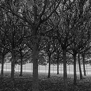 Lime Trees, Norfolk