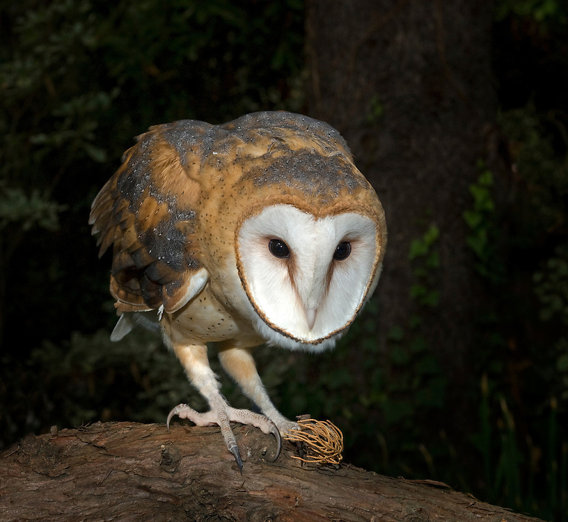 The Barn Owl is one of the most wide-spread of all land birds. They are found on all continents (except Antarctica) and large islands and occur over the whole of Australia, including Tasmania. They occur throughout most of Britain and Europe and across many parts of Asia, Africa, and in much of North America. In South America they are found in areas of suitable grassland, as well as on oceanic islands such as the Galapagos.