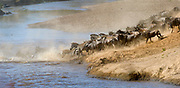 Herds of wildebeests mixed with a few plain zebras crossing Mara River (Kenya) as a part of their annual great migration. Photo from August 2014.