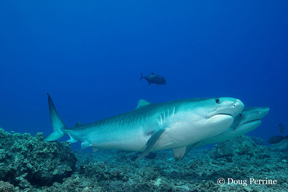 tiger sharks, Galeocerdo cuvier, Honokohau, Kona, Big Island, Hawaii, USA ( Central Pacific Ocean )