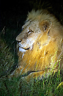 KLASERIE PRIVATE GAME RESERVE, SOUTH AFRICA, DECEMBER 2004. Suddenly we stand eye to eye with a male lion. Wildlife guide Gary Freeman takes people on walking safaris in the bush. Photo by Frits Meyst/Adventure4ever.com