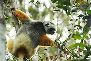 "Madagascar, Coquerel's sifaka (Propithecus verreauxi coquereli) in a tree. Coquerel's sifaka is a subspecies of Verreaux's sifaka. This lemur lives in the rainforests of Madagascar, feeding on fruits, flowers, bark and leaves. Its long tail helps it to balance when leaping from tree to tree. Coquerel's sifaka lives in small groups of between 5 and 10 individuals. The sifaka is named for its distinctive ""shi-fak"" alarm call, which is used to warn members of the group when predators are near. Destruction of the forests of Madagascar means that Coquerel's lemur is becoming increasingly rare."