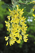 Voss's Laburnum Laburnum x watereri 11m (hybrid between Laburnum and Scottish Laburnum) has early-opening flowers of the first and the longer, more densely packed racemes of the second. Where laburnums are planted for ornament they are likely to be of this type: it has good hybrid vigour and makes a finer, longer-lived tree.
