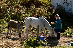 Barbara Kohn of Tunbridge passes the time reading while guarding the grain bowl of her thirty-year-old registered Arabian named Grady from the snacking attempts of her donkey Fearless Freddie Monday, October 19, 2009. &quot;Sometimes I get engrossed in what I'm reading and he (Freddie) sneaks in.&quot;<br /> Valley News - James M. Patterson<br /> jpatterson@vnews.com<br /> photo@vnews.com