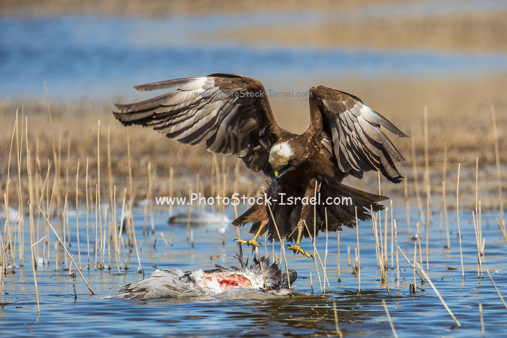 Marsh Harrier (Circus aeruginosus) with a killed crane prey. Photographed at the Hula Valley reserve, Israel in February