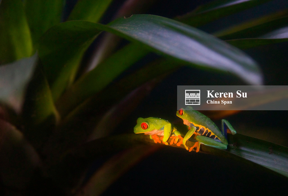 Red-Eyed Leaf Frog, Rana de Ojos Rojos (Agalychnis callidryas), Monte Verde, Costa Rica