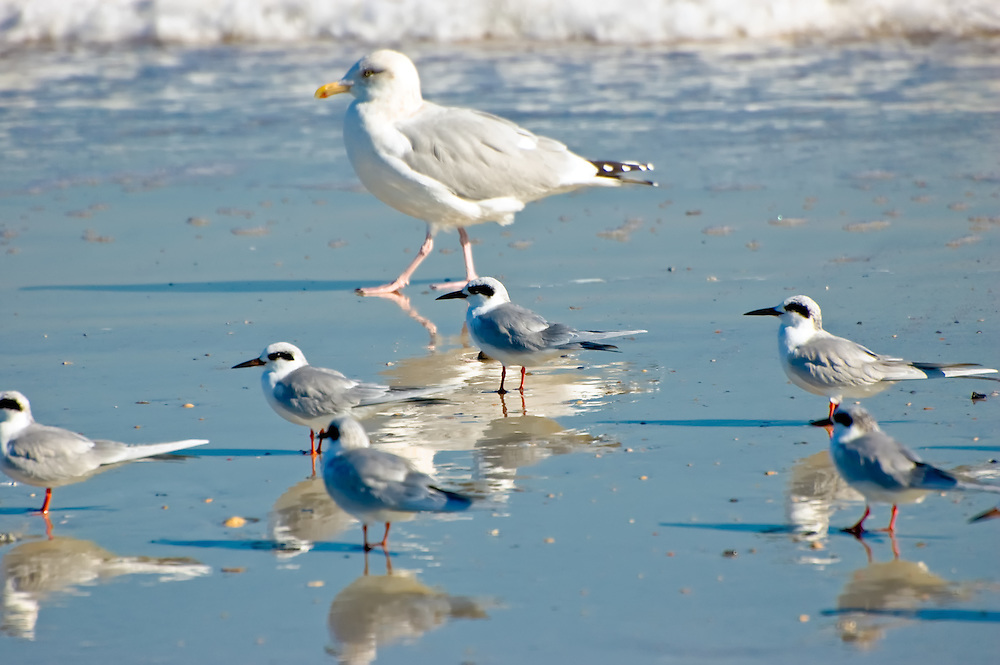 A large herring gull with a group of Forsters' terns - all in winter plumage on Fernandina Beach, Florida.