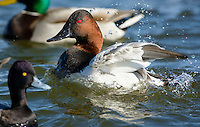 Canvasback duck, Aythya valisineria, among other species, flaps its wings on the Chesapeake Bay, Cambridge, Maryland, USA.
