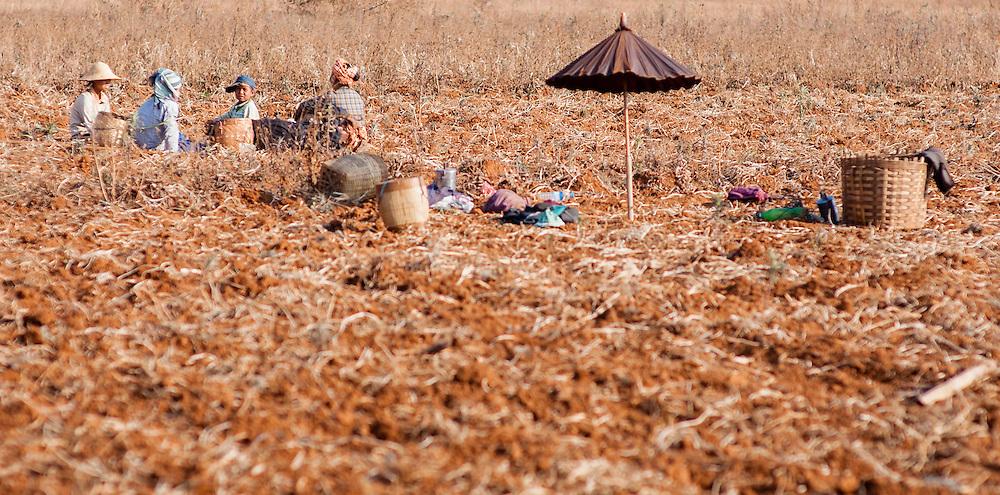 Farmers working on the fields (Myanmar)