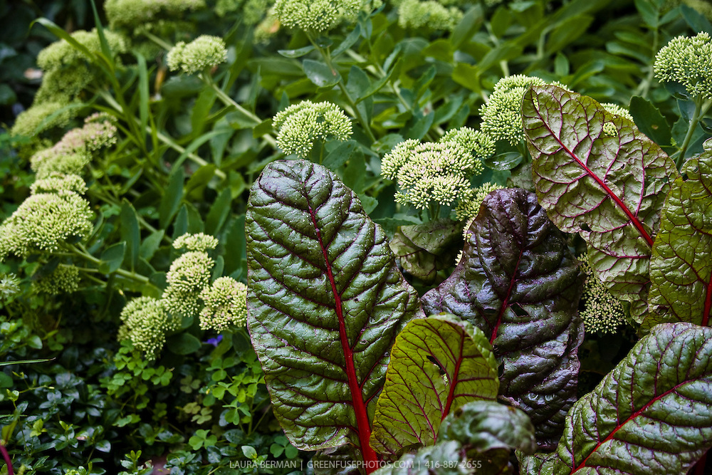 Red stem chard and Sedum in an edible ornamental garden.
