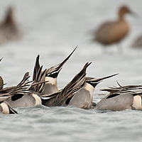 northern pintail males feeding underwater with rump sticking up displaying the pintail
