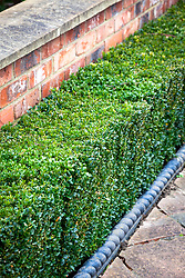 Low clipped box hedge. Buxus sempervirens. Common box