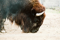 Bison at the Como Zoo in Saint Paul, Minnesota.