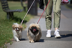 Image ©Licensed to i-Images Picture Agency. 16/07/2014. London, United Kingdom. Bright and hot day with max. temperatures of 27ºC. People take their dogs for a walk in Regent's Park. Picture by Daniel Leal-Olivas / i-Images