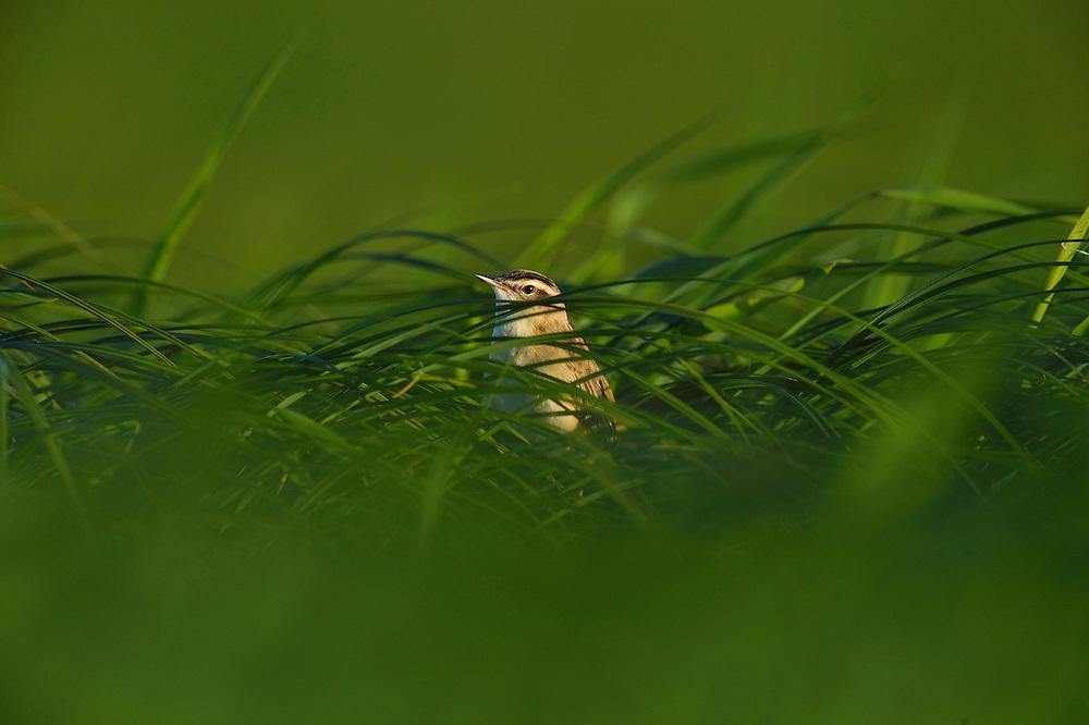 Sedge warbler, Acrocephalus schoenobaenus, in its habitat, Nemunas River Delta, Lithuania