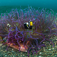 Saddleback Anemonefish, Amphiprion ploymnus, in a Long Tentacle Anemone, Macrodactyla doreensis, Lembeh Island, Lembeh Strait, Pacific Ocean, Indonesia,