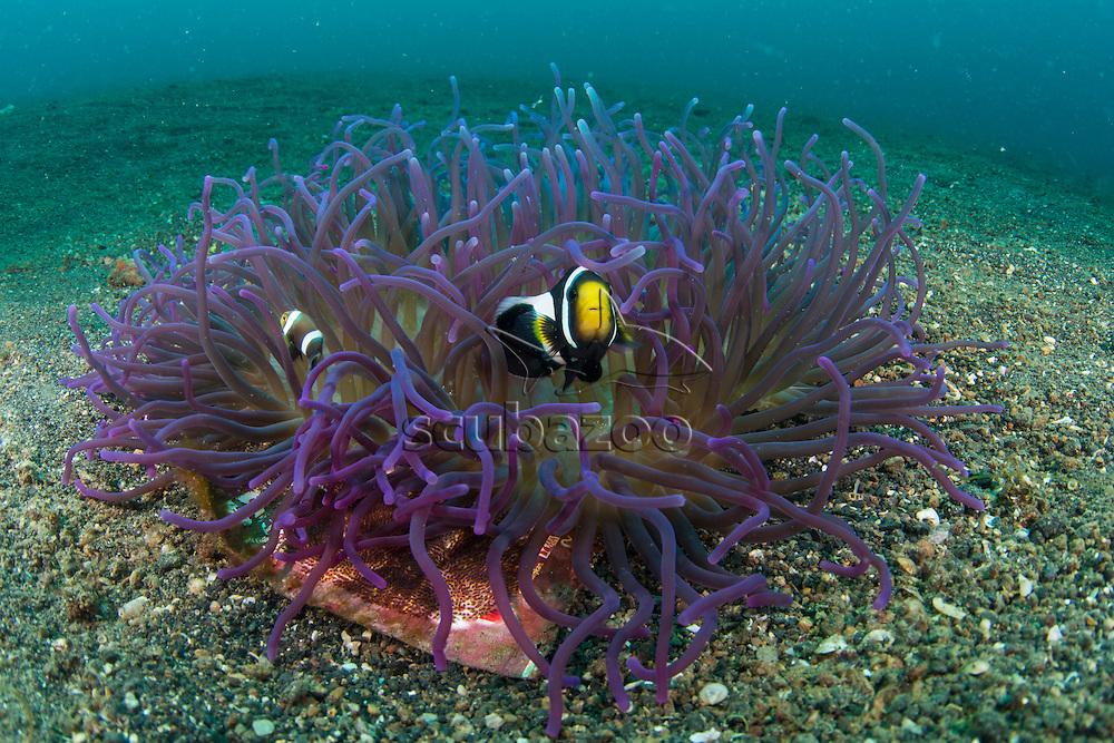 Saddleback Anemonefish, Amphiprion ploymnus, in a Long Tentacle Anemone, Macrodactyla doreensis, Lembeh Island, Lembeh Strait, Pacific Ocean, Indonesia,