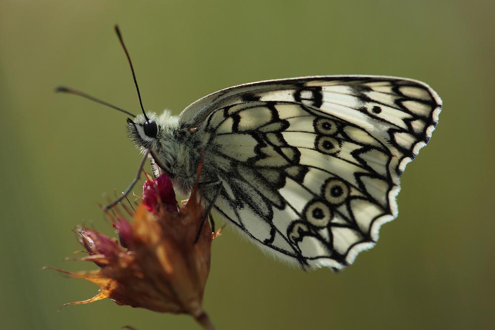 Marbled White butterfly, Melanargia galathea, on Pink, Dianthus sp.. Mountain pasture, Mount Baba (1635 m) in Galicica National Park., Mountain pasture, Mount Baba (1635 m) in Galicica National Park.<br /> Stenje region, Lake Macro Prespa (850m) <br /> Galicica National Park, Macedonia, June 2009<br /> Mission: Macedonia, Lake Macro Prespa /  Lake Ohrid, Transnational Park<br /> David Maitland / Wild Wonders of Europe