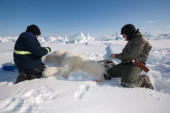 Geoff York, USGS biologist and Katrina Knott, research assistant, prepare a polar bear (Ursus maritimus) to start doing their research. Kaktovik, Alaska.