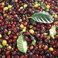 Fruto del cafe, Venezuela
