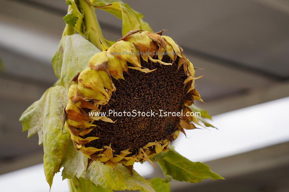 wilted sunflower flower
