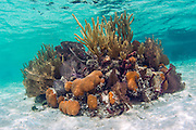 Coral reef in the shallows of Southwest Caye, Belize, Caribbean Sea