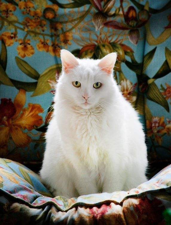 White cat (Bubbles) poses on floral chair for another portrait.
