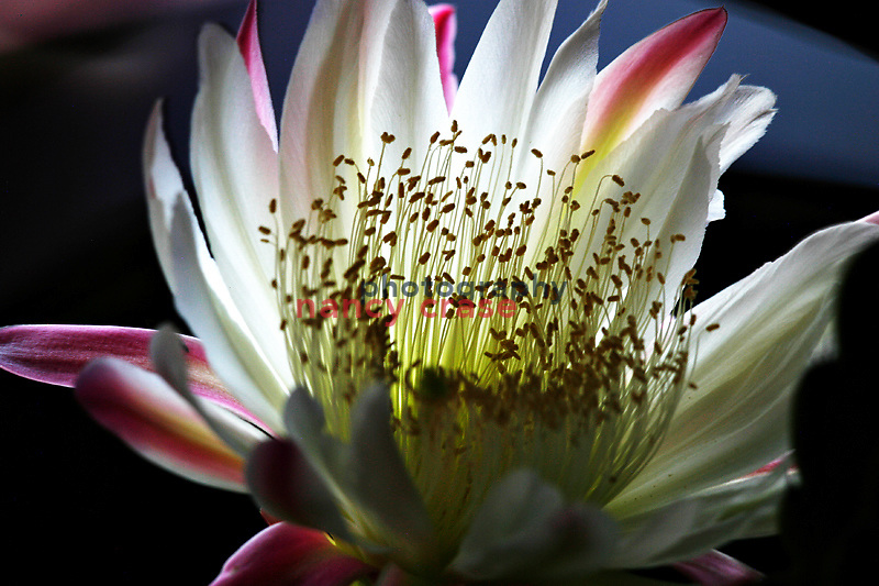 Light painting of a Cereus cactus flower using the light from a cell photo to light paint the subject.