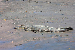 A saltwater crocodile suns itself on the banks of the Hunter River.