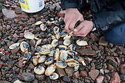"Digging clams at low tide in Frobisher Bay near Iqaluit, Nunavut Territory, Canada. Iqaluit, with population of 6,000, is the largest community in Nunavut as well as the capital city, is located in the southeast part of Baffin Island. Formerly known as Frobisher Bay, it is at the mouth of the bay of that name, overlooking Koojesse Inlet. ""Iqaluit"" means 'place of many fish'.."