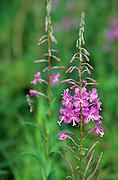 Fireweed plant, Yukon Canada