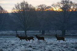 © Licensed to London News Pictures. 24/01/2019. London, UK. The sun rises a frozen Richmond Park, West London on a cold winter morning, as temperatures across the UK drop dramatically. Some parts of the UK are expecting snowfall following a spell of low temperatures. Photo credit: Peter Macdiarmid/LNP