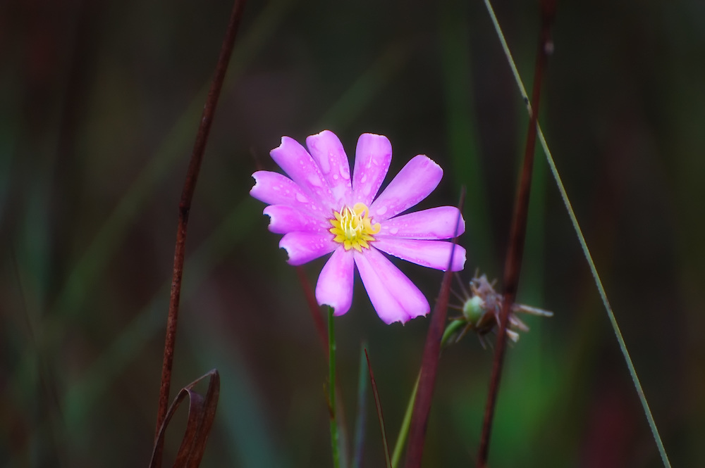 This is one of the many common wildflowers to be seen growing in the Big Cypress National Preserve in Collier and Monroe Counties. This one was in the Gator Hook Strand.