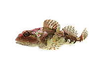 Short-spined sea scorpion (Myoxocephalus scorpius) Arctic Ocean, Svalbard, Spitsbergen, Norway | Seeskorpion (Myoxocephalus scorpius) Nordatlantik / Arktischen Ozean, Spitzbergen, Norwegen