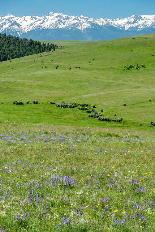 Wildflowers on Oregon's Zumwalt Prairie with the Wallowa Mountains in the distance.