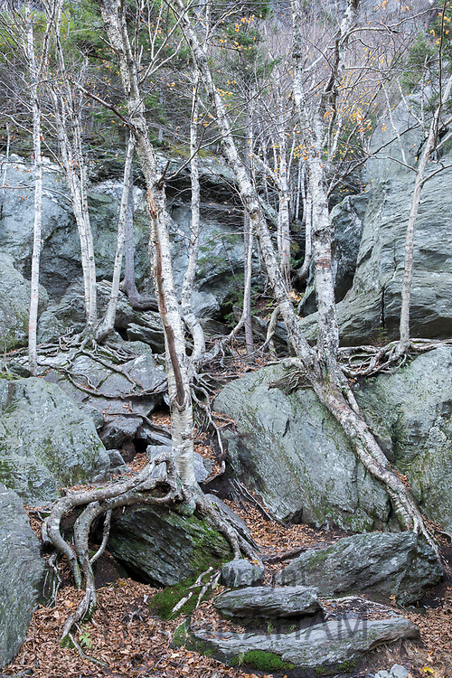 Sculptural effect of boulders as backdrop to Aspen tree roots and trunks at Top Notch in Vermont, New England, USA