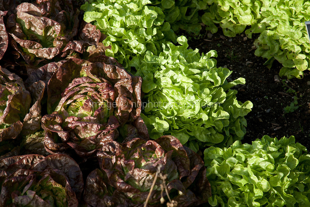 Fresh lettuce growing in an Irish garden