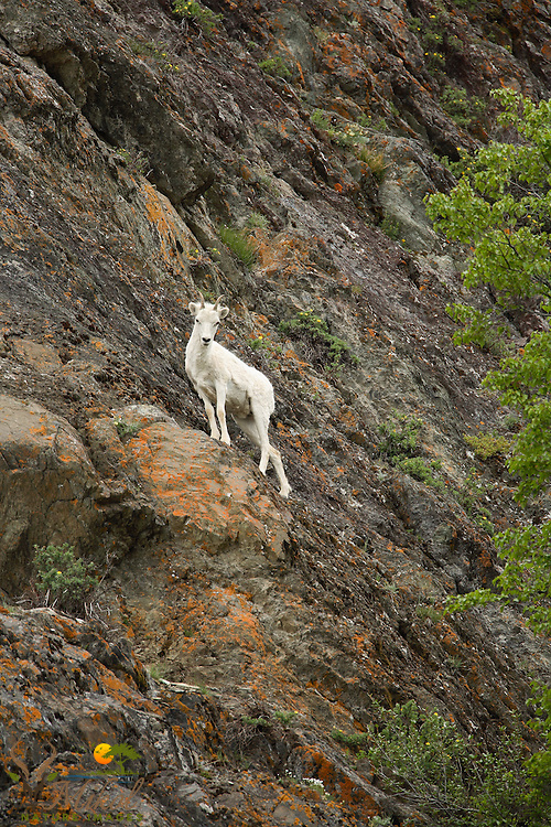 Dall sheep ewe on cliff looking at camera