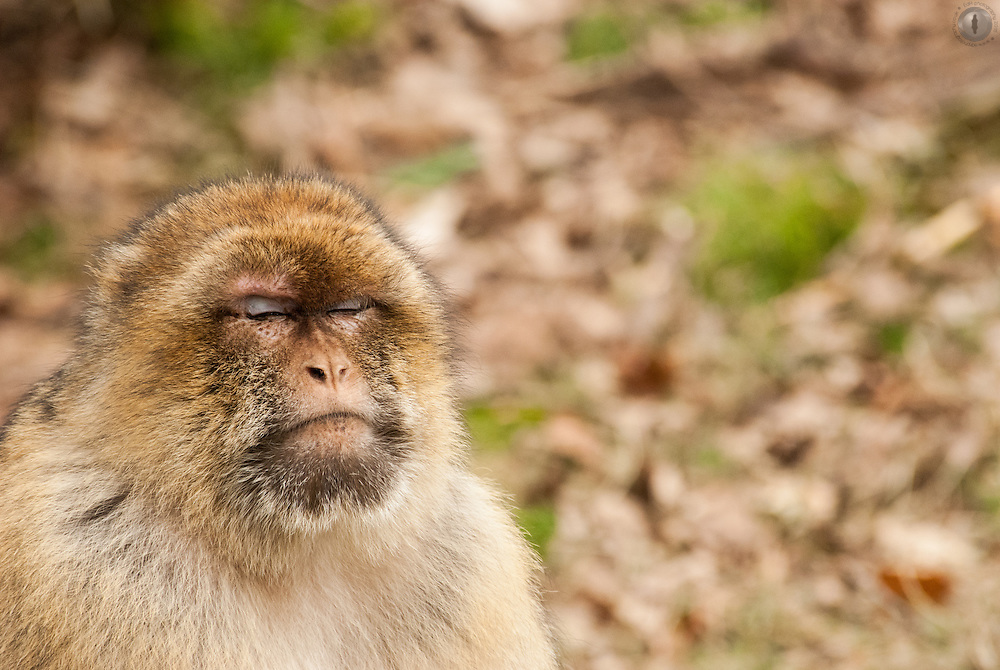 A Barbary Macaque sleeping at the Trentham Monkey Forest centre.