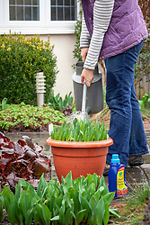 Liquid feeding pots of spring bulbs - tulips and daffodils - using a watering can.