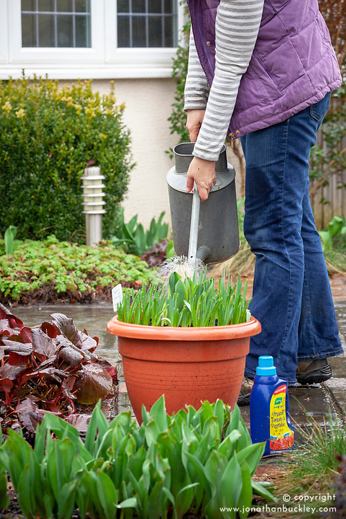 Liquid feeding spring bulbs in pots
