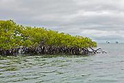 Red mangrove, Rhizophora mangle, from Black Turtle Cove, Santa Cruz, Galapagos.