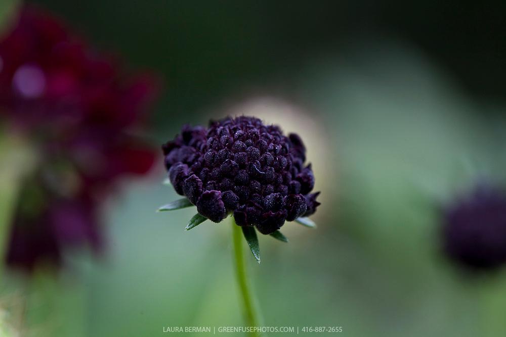 Deep purple or black knautia flowers (Knautia macedonica)