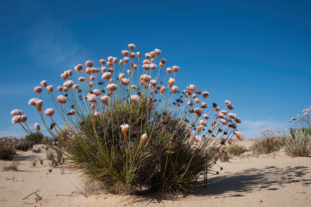 Spiny Thrift (Armeria pungens) growning on the dunes.<br /> Do&ntilde;ana National &amp; Natural Park. Huelva Province, Andalusia. SPAIN<br /> 1969 - Set up as a National Park<br /> 1981 - Biosphere Reserve<br /> 1982 - Wetland of International Importance, Ramsar<br /> 1985 - Special Protection Area for Birds<br /> 1994 - World Heritage Site, UNESCO.<br /> The marshlands in particular are a very important area for the migration, breeding and wintering of European and African birds. It is also an area of old cultures, traditions and human uses - most of which are still in existance.