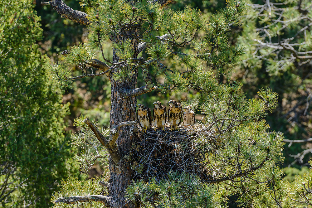 Red-tailed Hawk [Buteo jamaicensis] nestlings biding time, stretching, exercising, feeding on leftovers in nest while waiting for the next meal; Raton Pass, Colorado